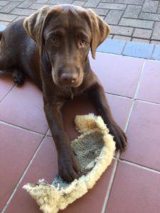 Peppa, the Labrador | ValWaldeck.com